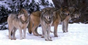 Aç kalan kurtlar Yakupabdal'da korku saldı